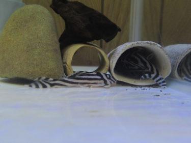 インペの繁殖行動